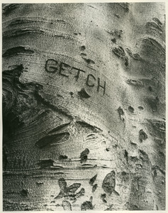 """Getch"" on Hill House beech"