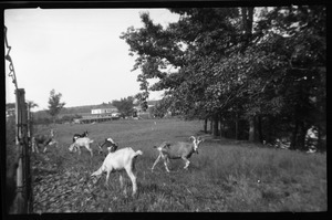 Goats on farm in New York