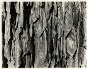 Tobacco Leaves close Up
