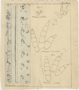 Drawings of the fossil footprints of several species