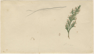 Orra White Hitchcock drawing of cedar sprig