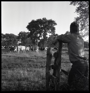 Man looking over a fence at cows in pasture, Wentworth Farm
