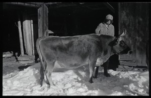 Cow and Nina Keller by the barn in winter, Montague Farm commune