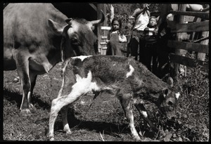 New born Jersey calf and mother, Montague Farm Commune