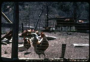 Chickens in their pen and cows in the background, Montague Farm Commune