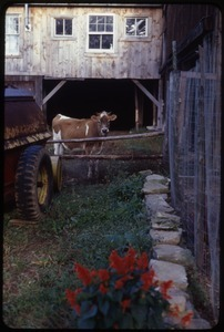 Jersey cow by the side of the barn, Montague Farm Commune
