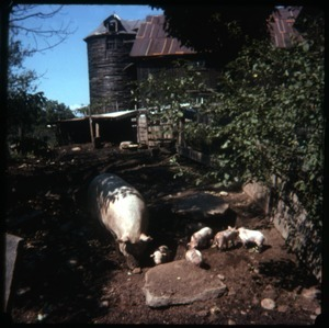 Pigs in their sty near the barn, Montague Farm Commune