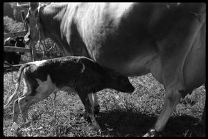 Jersey cow and new born calf, Montague Farm Commune