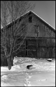 Dog standing in front of the barn, with heavy snow, Montague Farm commune