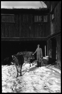 Cows and Nina Keller by the barn in winter, Montague Farm commune