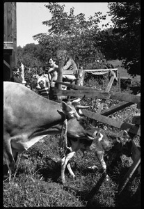 Jersey cow and new born calf in a pen, Montague Farm Commune