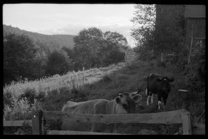 Cows (Jersey in front) in a pen by the barn, Montague Farm Commune