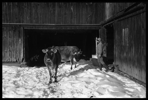 Cows and Nina Keller by the barn, Montague Farm commune