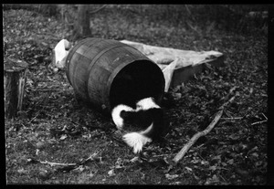 Dog in a barrel, Montague Farm Commune