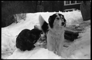 Tortoise shell cat and dog in heavy snow, Montague Farm commune