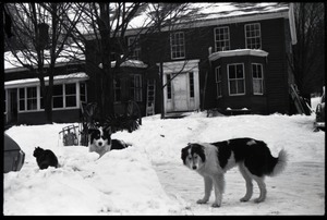 Cat and two dogs in heavy snow in front of the house, Montague Farm commune