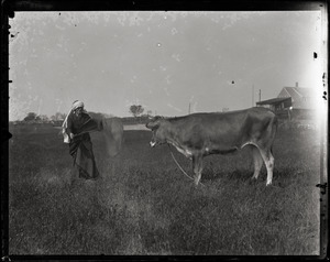 Reuben Austin Snow, the cross-dressing hermit of Cape Cod, waving a cape in front of a disinterested Jersey cow