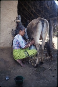 Ama, mother of guide K.P. Kafle, milking a water buffalo