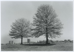 2 Pin oaks and UMass buildings