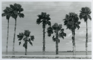 Palms against utility wires