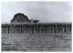 Cornfield with tree