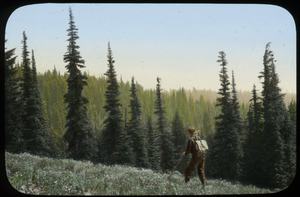 Hiker on upland meadow abutted with evergreens