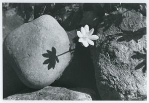 Bloodroot and shadow on rock