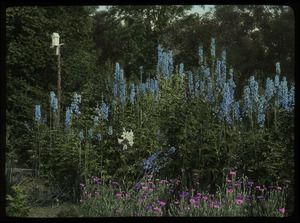 Waugh garden: delphiniums and other flowers