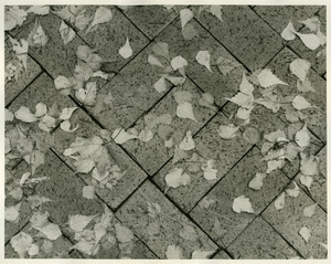 Birch leaves on patio