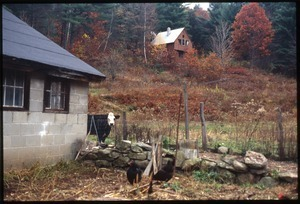 Cabin on hill with cow and chickens in foreground, Wendell Farm