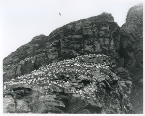 Gannets near North Cape