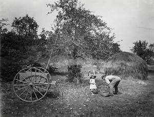Picking up apples in orchard, York, Maine, Oct. 1892