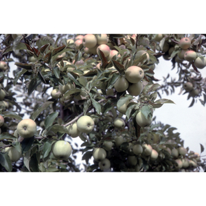 Apples in a tree during a Chinese Progressive Association trip