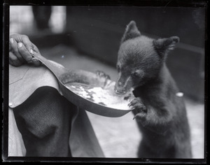 Bear cub eating from a frying pan