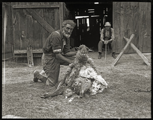 Uncle John Brooks and Ephrem Weston shearing sheep in front of barn