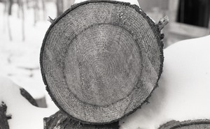 Close-up of sawn end of a log