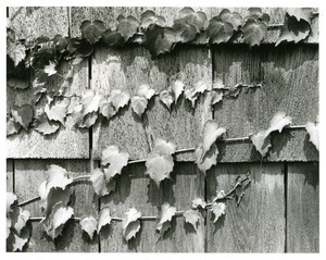 Ivy on shingle siding