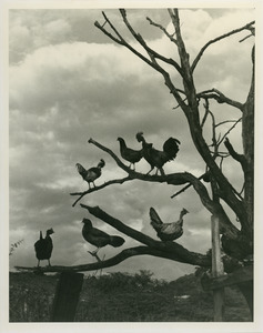 Chickens roosting in tree
