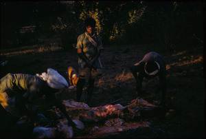 Men butchering a buffalo
