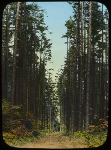 The Cathedral Woods, Greylock (path through tall evergreen trees)
