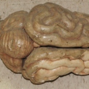 Auzoux model of cat brain, 19th century