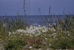 Alaskan wildflowers near shore
