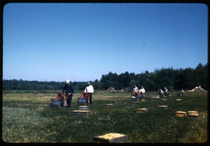 Cranberry harvest using mechanical pickers (Westerns), Arnold Garside in front; Duxbury Cranberry Company