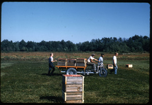 Cranberry harvest, with bog cart hauling full crates; Duxbury Cranberry Company