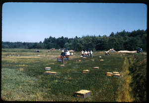 Cranberry harvest with workers using mechanical pickers (Western pickers) and crates arrayed on the bog, Duxbury Cranberry Company