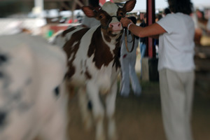 Franklin County Fair: Cow being shown