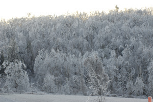 Hillside of ice-covered trees
