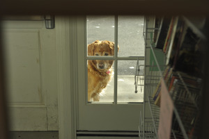 Golden retriever looking plaintively through a window into the entry foyer, New Salem Public Library