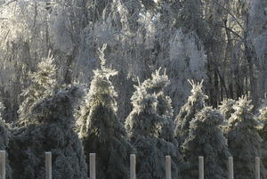 Line of ice-covered evergreens