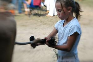 Franklin County Fair: Girl combing the tail of her cow